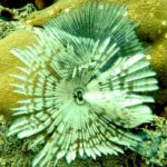 tube worm, palau