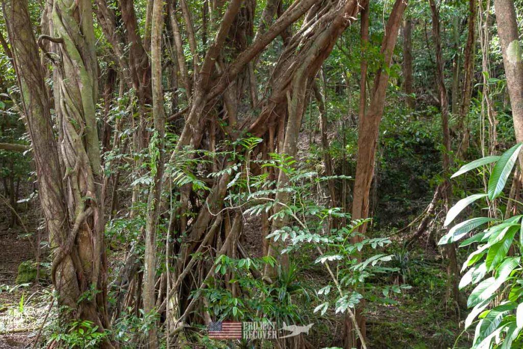 Peleliu jungle