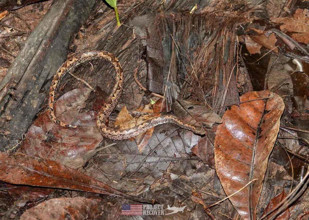 palau jungle boa snake